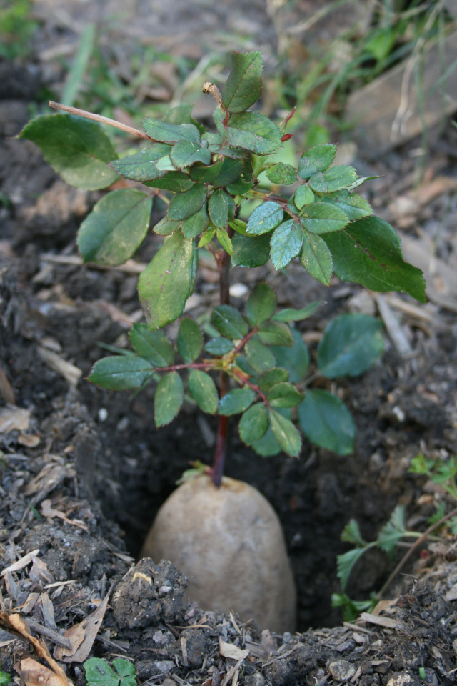 Propagate your roses with potatoes - Planting rose shrub step ...