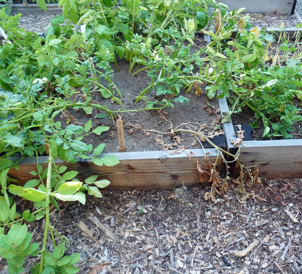 Propagate Your Roses With Potatoes Green Living Bees
